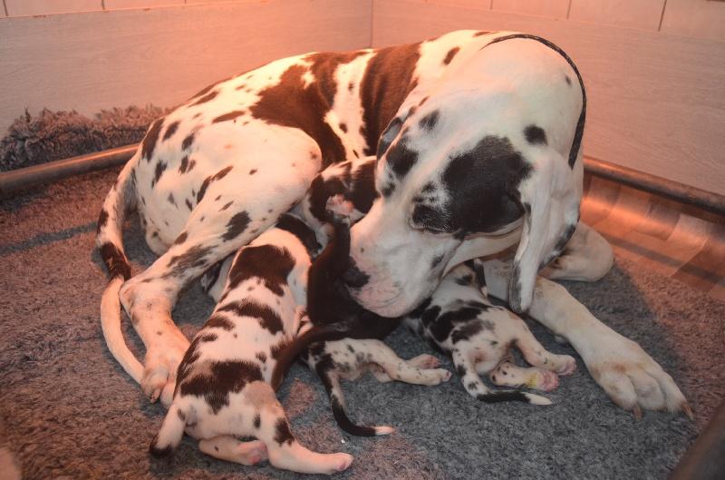 du domaine de l'ostrevent - Dogue allemand - Portée née le 26/05/2014
