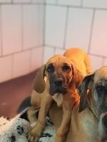 du domaine de l'ostrevent - Dogue allemand - Portée née le 18/08/2018
