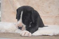 du domaine de l'ostrevent - Dogue allemand - Portée née le 30/08/2013