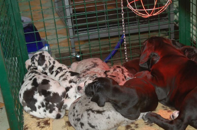 du domaine de l'ostrevent - Dogue allemand - Portée née le 07/10/2009
