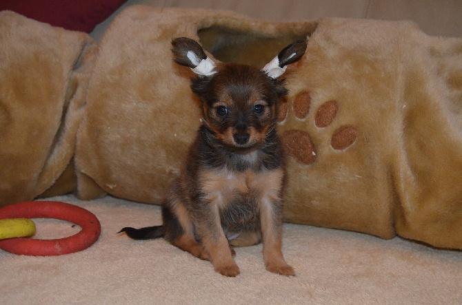 accueil elevage du domaine de l 39 ostrevent eleveur de chiens russkiy toy petit chien russe. Black Bedroom Furniture Sets. Home Design Ideas