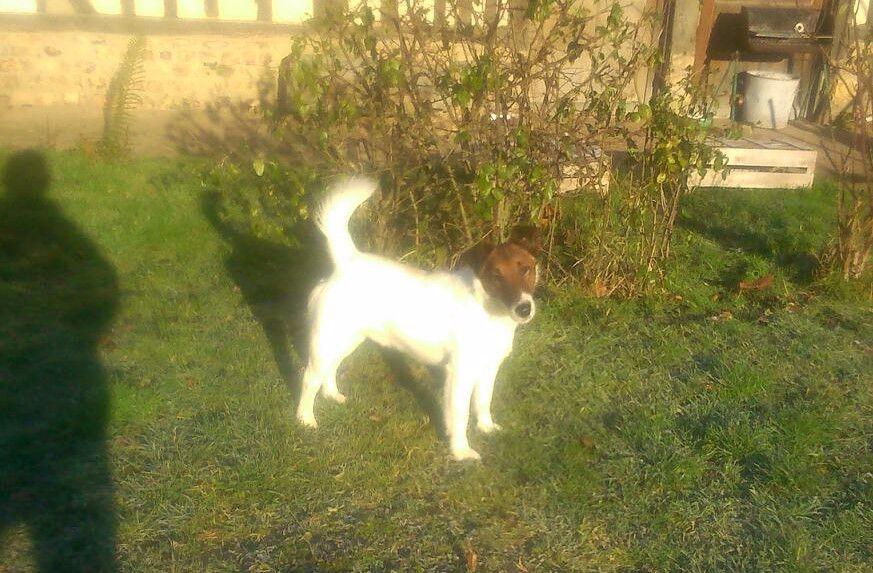 du gai tourtel - Chiot disponible  - Fox Terrier Poil lisse