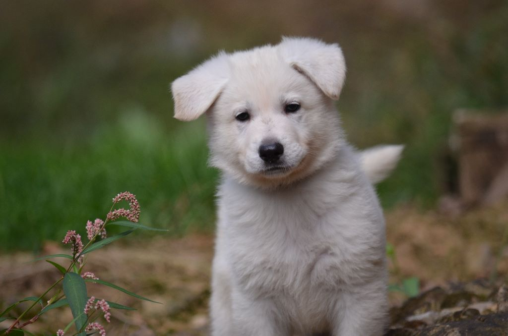 de monesties - Chiot disponible  - Berger Blanc Suisse