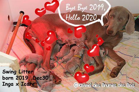 Des brumes des bois - Braque de Weimar - Portée née le 30/12/2019