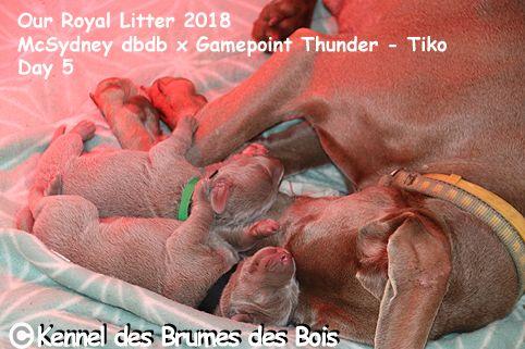 Des brumes des bois - Braque de Weimar - Portée née le 08/11/2018