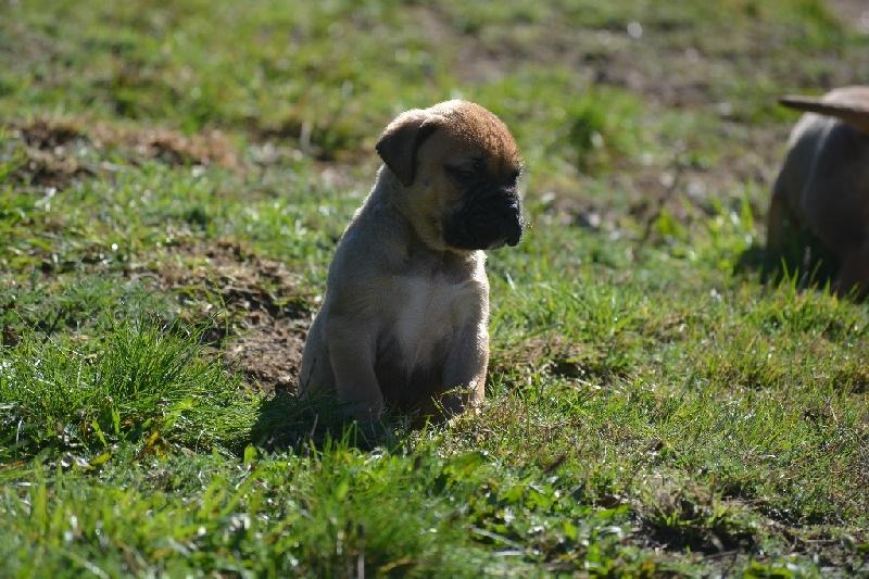 des Volkan's Molosses - Chiot disponible  - Bullmastiff