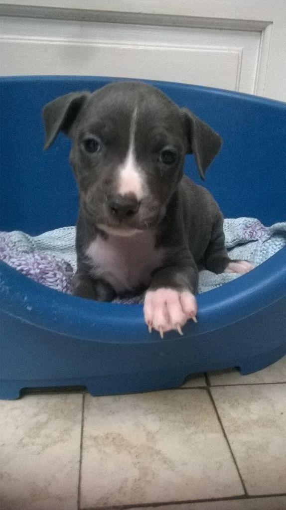 de killianamstaff's history - Chiot disponible  - American Staffordshire Terrier