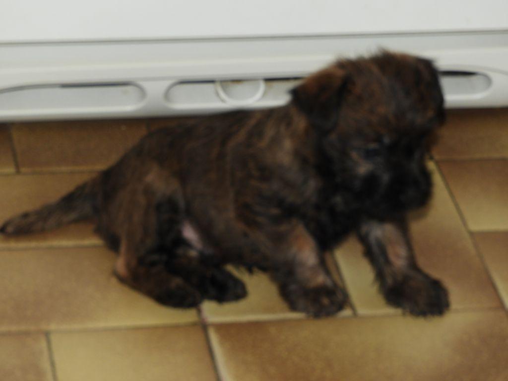 du clos de la Dabinerie - Chiot disponible  - Cairn Terrier