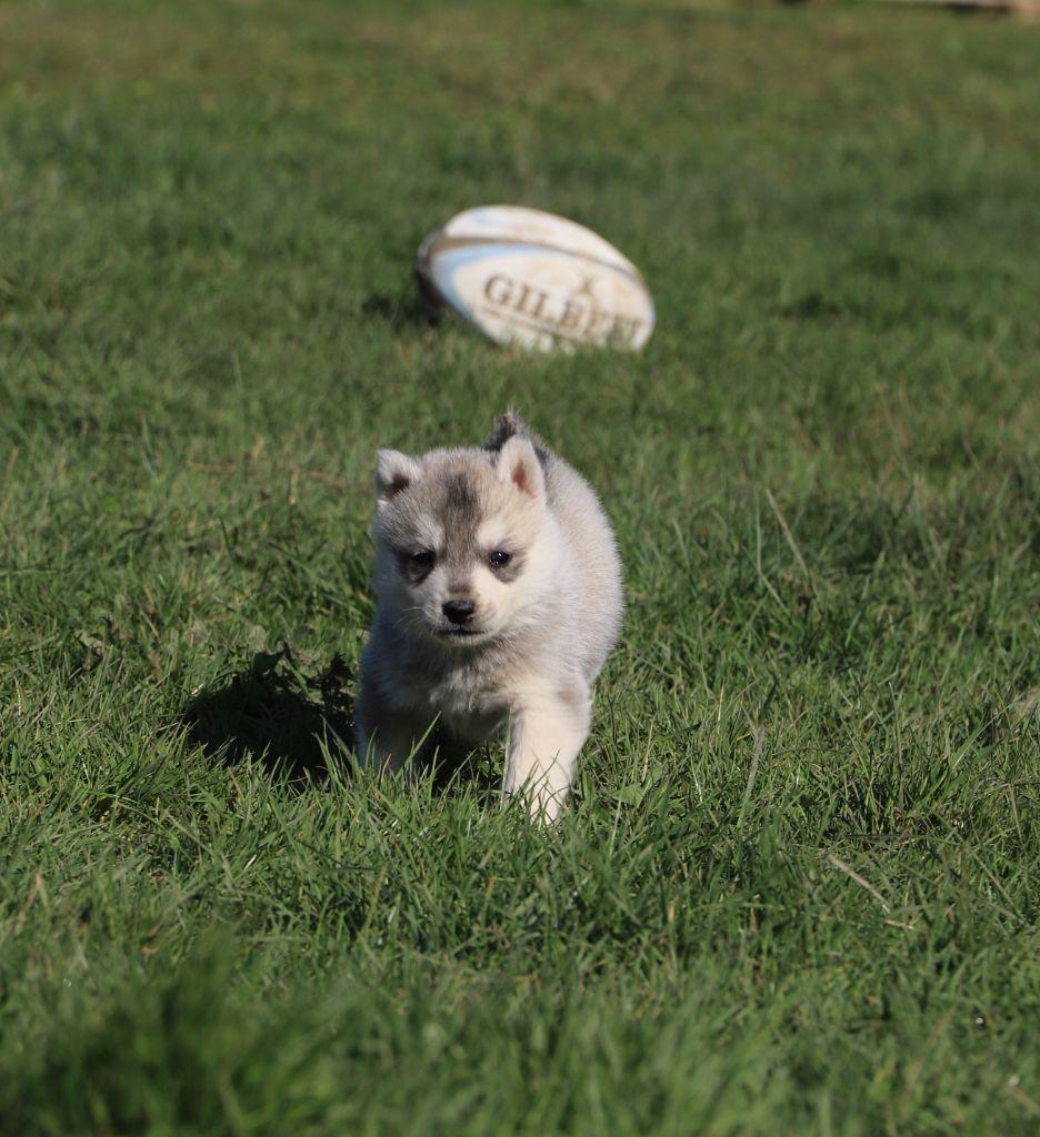de Daybreak Northern - Chiot disponible  - Siberian Husky
