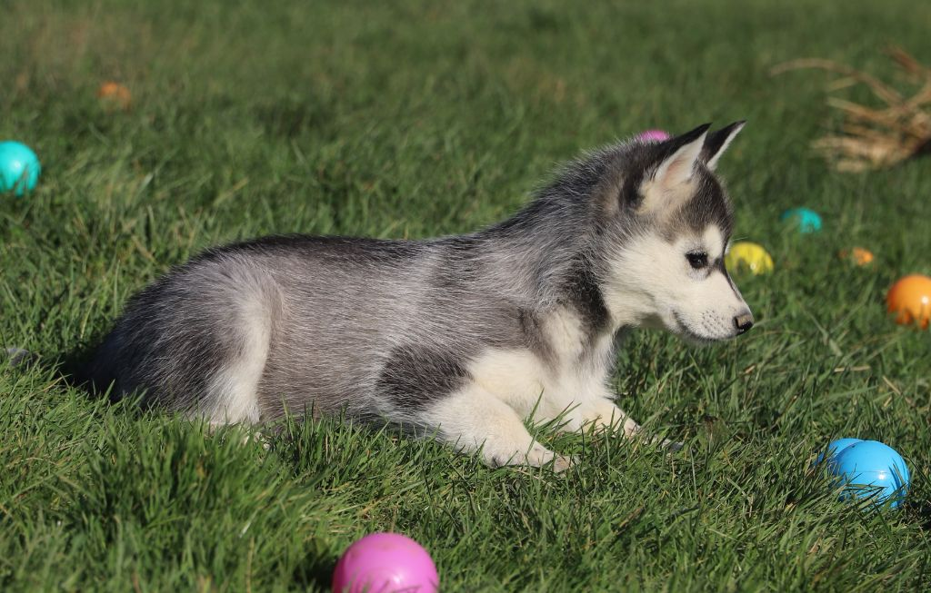 de Daybreak Northern - Chiot disponible  - Siberian Husky