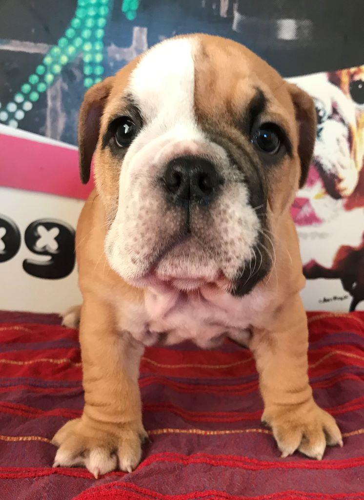 of Boogy Doggy Bull's - Chiot disponible  - Bulldog Anglais
