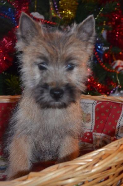 du jardin des korrigans - Chiot disponible  - Cairn Terrier