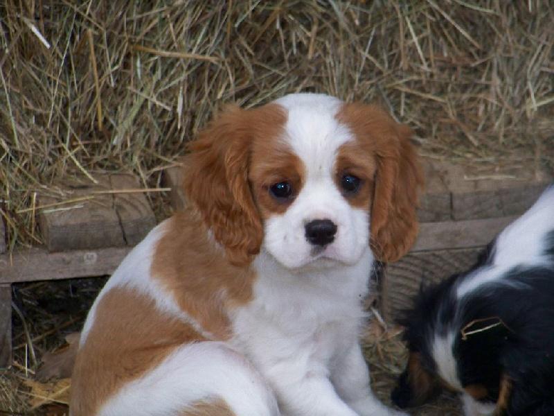 Chiot elevage du clos de montourtier eleveur de chiens cavalier king charles spaniel - Chiot cavalier king charles gratuit ...