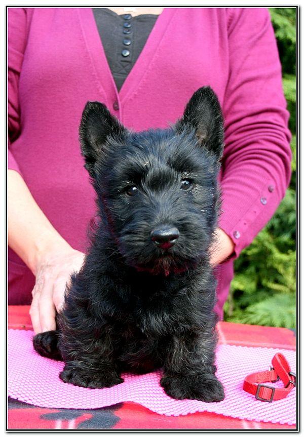 du Clan des Petits Colonels - Chiot disponible  - Scottish Terrier