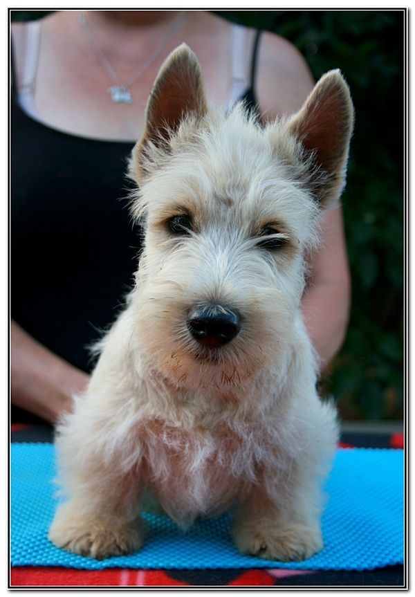 du Clan des Petits Colonels - Chiot disponible  - Scottish Terrier