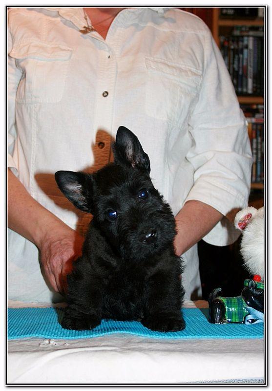 chiot scottish terrier n gus m le disponible en centre val de loire 18 cher toutes les. Black Bedroom Furniture Sets. Home Design Ideas