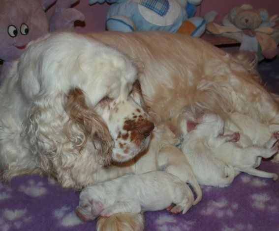 chiot Clumber Spaniel of Cookies and Cream