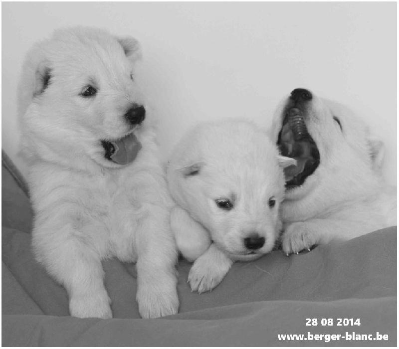 P'tits Loups d'Amour - Berger Blanc Suisse - Portée née le 10/08/2014