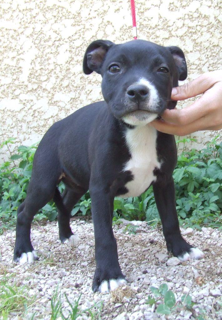 ODESSA - Staffordshire Bull Terrier