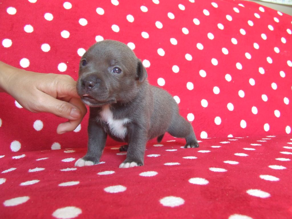 Woody's Original - Chiot disponible  - Staffordshire Bull Terrier
