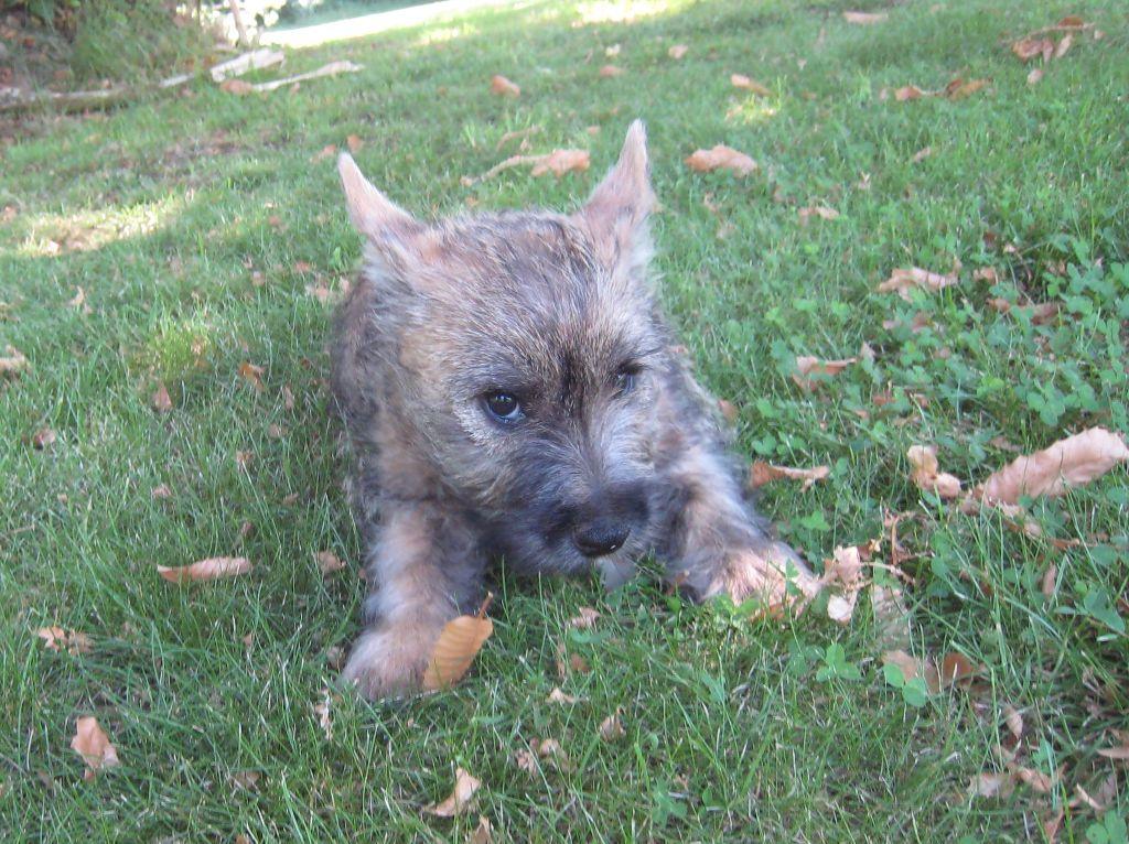 NERUDA - Cairn Terrier