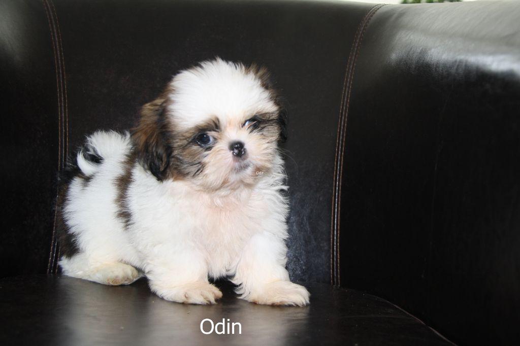 ODIN - Shih Tzu