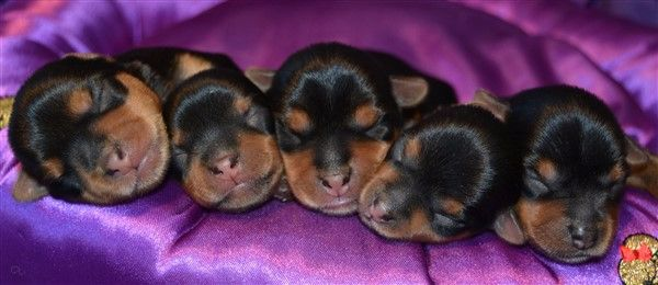 du Lilas Pourpre - Chiot disponible  - Yorkshire Terrier