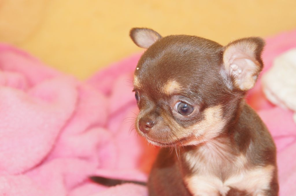 du royaume des petits Anges - Chiot disponible  - Chihuahua