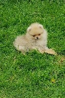 OLIDAY  pomeranian sable nain