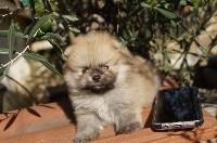 Pomeranian O TEDDY