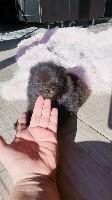 Pomeranienne noire Patchouli