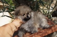 Pomeranian OUSHKA