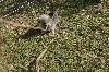 pomeranian gris loup O FABIO