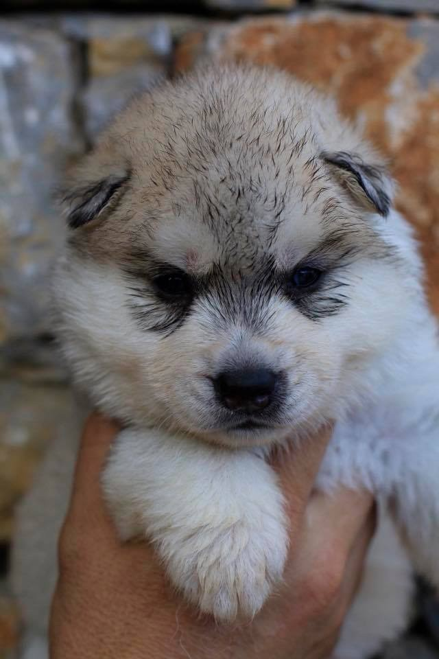 Ice Gang - Chiot disponible  - Siberian Husky