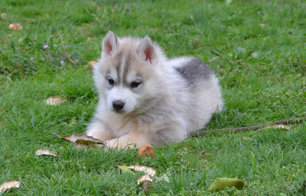 Ice Gang - Chiot disponible  - Siberian Husky