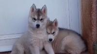 Siberian Husky - Ice Gang