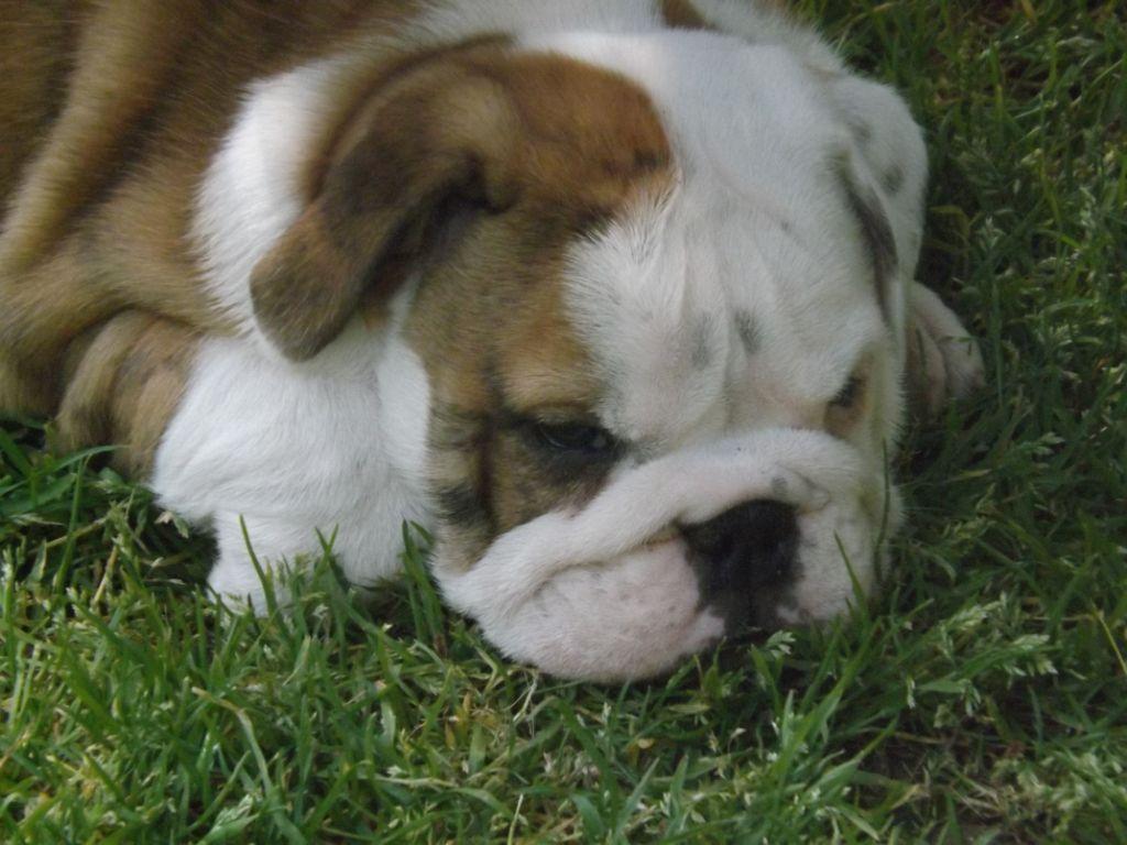 de la Brume des Ambres - Chiot disponible  - Bulldog Anglais