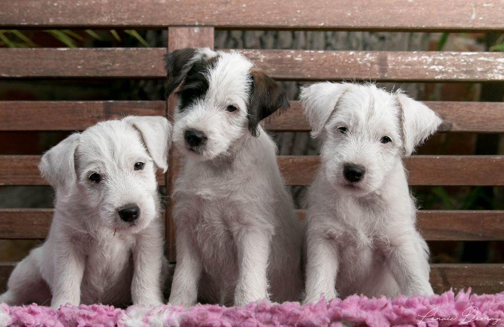 de l'Anse Royale - Parson Russell Terrier - Portée née le 17/08/2018