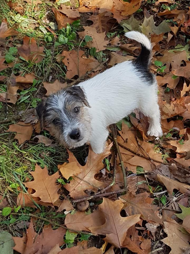 de l'Anse Royale - Chiot disponible  - Parson Russell Terrier