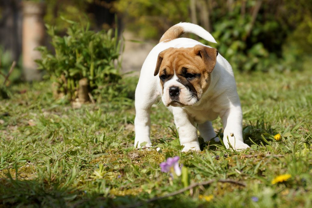 du val de gloire - Chiot disponible  - Bulldog continental