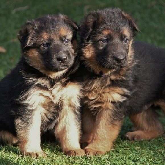 accueil elevage des terres de peyri re eleveur de chiens berger allemand. Black Bedroom Furniture Sets. Home Design Ideas