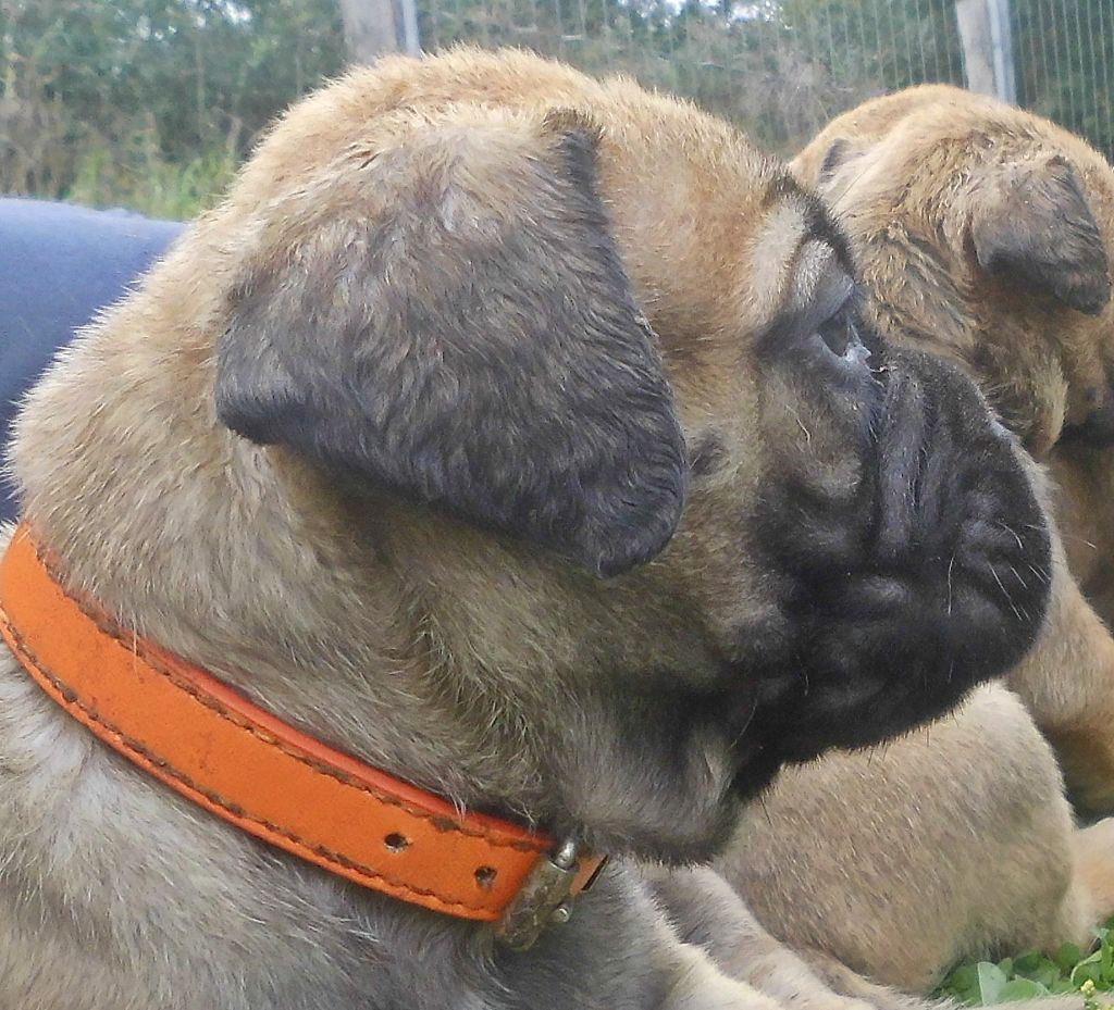 Mighty Mate's - Chiot disponible  - Bullmastiff