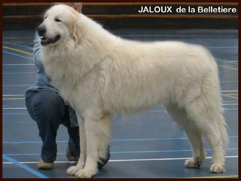 CH. Jaloux charmeur de la belletière