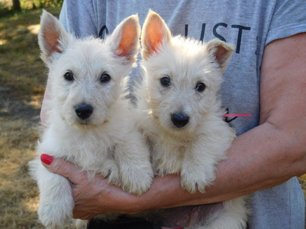 du domaine du Bois Colin - Chiot disponible  - Scottish Terrier
