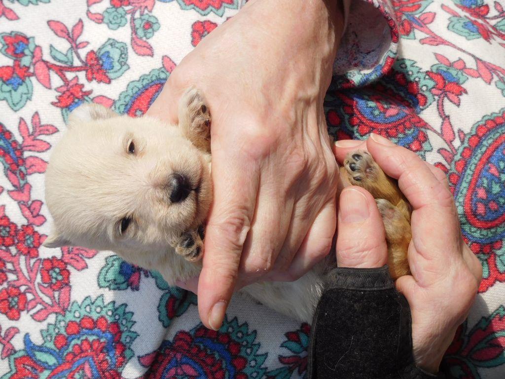Ola - Scottish Terrier