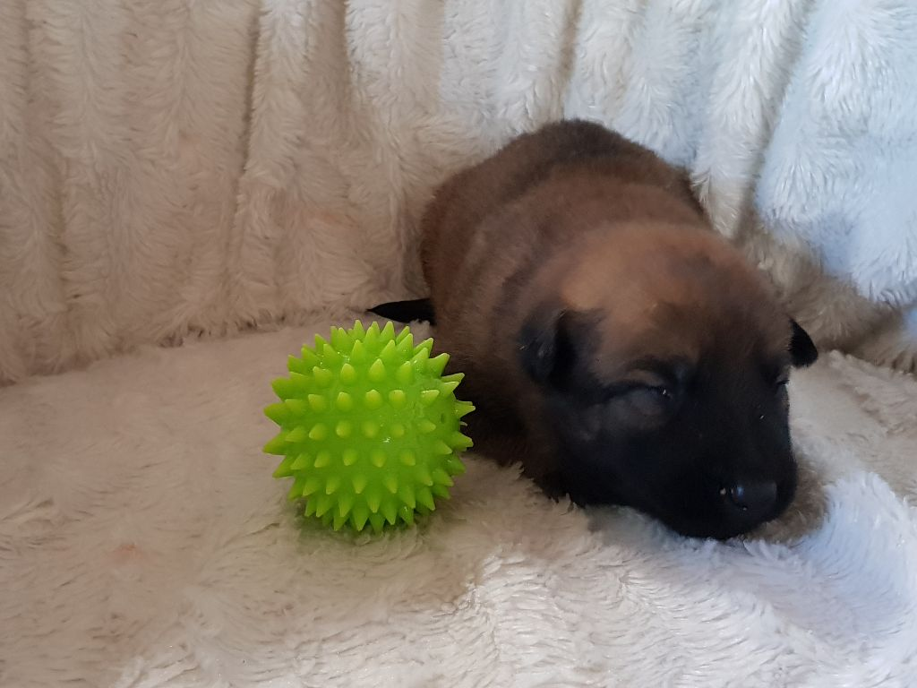 du Marl'Hour - Chiot disponible  - Berger Belge