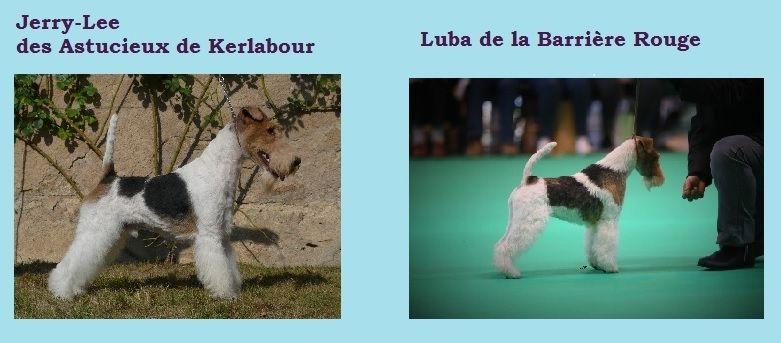 des Astucieux de Kerlabour - Chiot disponible  - Fox Terrier Poil Dur