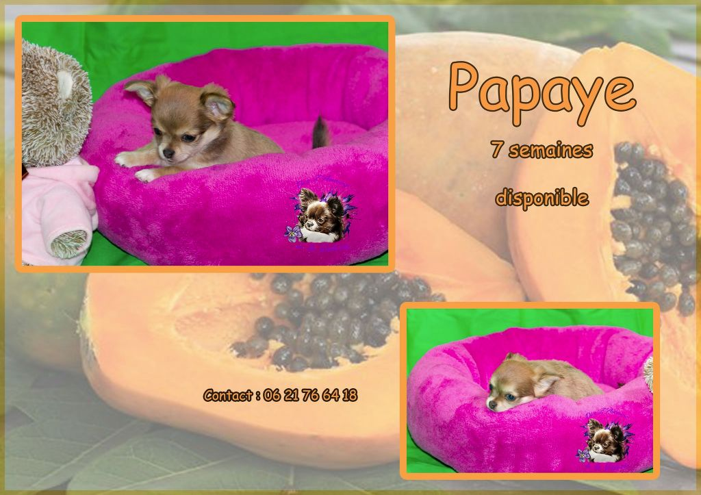 PAPAYE rebaptisée PIN UP - Chihuahua