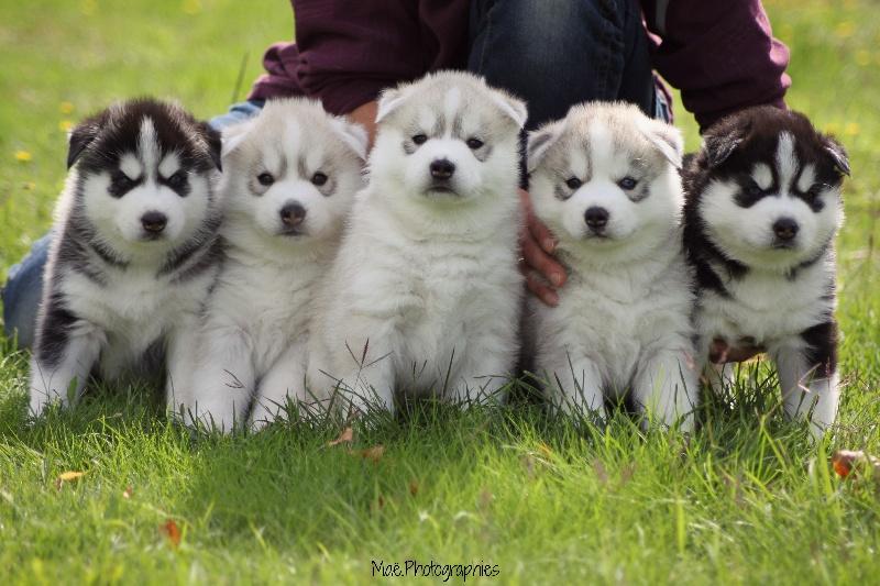 Assez Chiot - Elevage d'Isarudy - eleveur de chiens Siberian Husky QE39