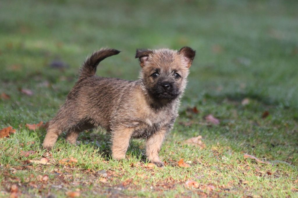 d'Isarudy - Chiot disponible  - Cairn Terrier